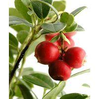 Cranberry Extract,Vaccinium Macrocarpon L.,Proanthocyanidins