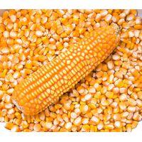 yellow corn thumbnail image