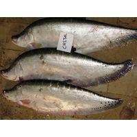 Fresh Freshwater Chittol fish A+