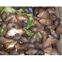 Live Giant African Snails( flesh, shell, oil)