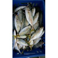 FROZEN YELLOW TAIL SCAD WHOLE ROUND