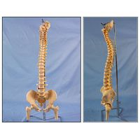 Classic Flexible Spine Skeleton Model with Femur Heads