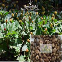 Akarkara Medicinal seeds ( Spilanthes acmella ) thumbnail image