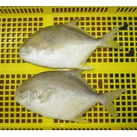 Frozen Golden Pomfret Fish