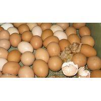 Fertile Hatching Chicken Egg, Fresh Chicken Table Eggs