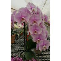 Orchid;Phalanenopsis seedling