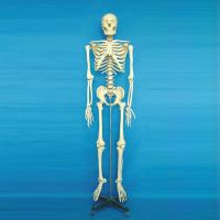 168 CM TALL HEALTH PAINTED & NUMBERED HUMAN SKELETON MODEL WITH