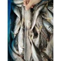 horse mackerel(trachurus japonicus)