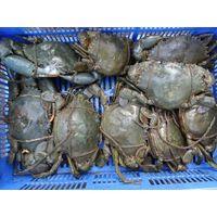 Mud Crabs thumbnail image