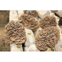organic maitake extract;grifola frondosa extract