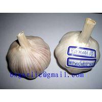 pure white garlic crop 2013 thumbnail image