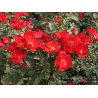 Wholesale/supply/export Chinese monthly rose seedling for horticulture