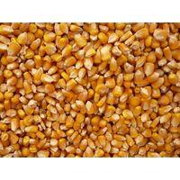 Yellow Corn (Non GMO)