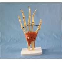 R020911 Desk Type Model Natural Size Hand Joint Skeleton Model with Ligaments