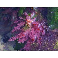Aspararagopsis armata Extract, Neptune Harpoon Extract
