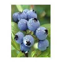 Bilberry Extract with Anthocyanosides25%
